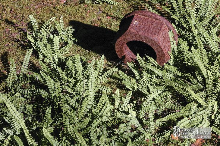 Ecrou boulon rouillé de grande taille reprit par la végétation