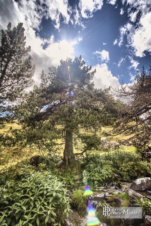 Contre jour d'un sapin en montagne en HDR