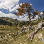 Sapin mort aux aiguilles oranges en montagne