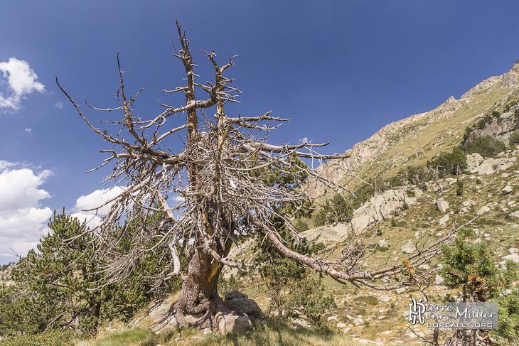 Tronc et branches d'un arbre mort en montagne