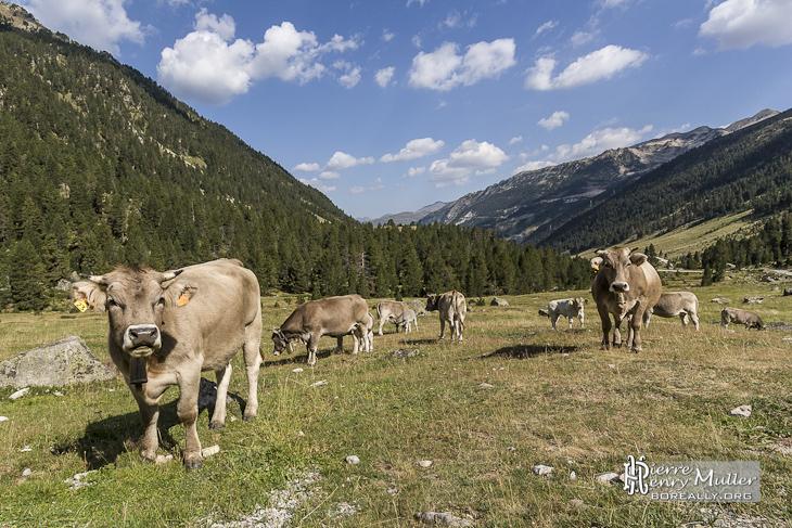 Vaches au pâturage en montagne dans les Pyrénées