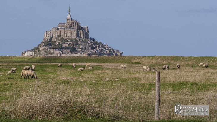 Moutons de prés salés dans la Baie du Mont Saint Michel