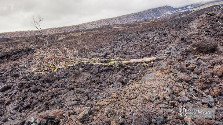 Arbre mort sur la coulée de lave d'avril 2007 à la Réunion