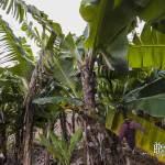 Bananiers et régime de banane avec sa fleur à la Réunion
