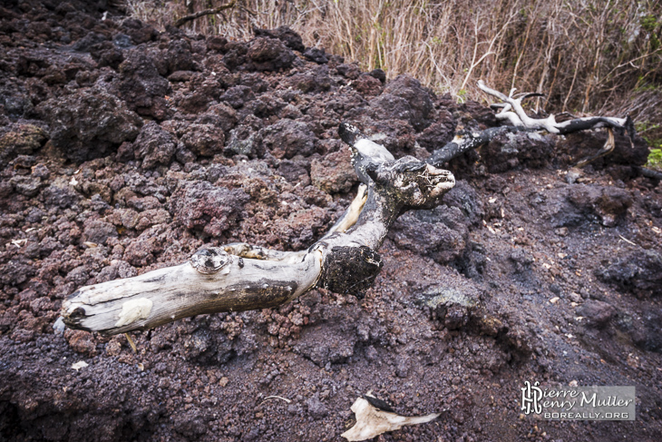 Branche d'arbre brulée sur la coulée de lave du siècle à la Réunion