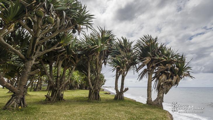 Palmiers aux racines apparentes au bord de l'océan Indien à la Réunion