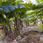Plantation de culture de banane à la Réunion