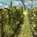 Plantation de vanillier pour la culture de la vanille à la Réunion