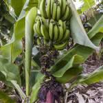 Régine de bananes sur un bananier à la Réunion