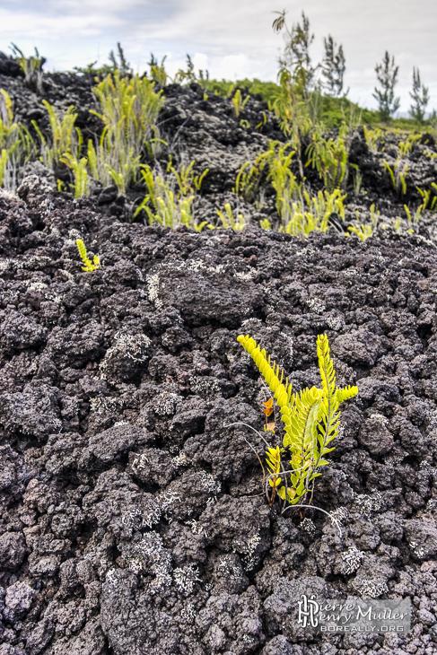 Végétation poussant sur une coulée de lave à la Réunion