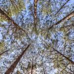 Contre plongée de la forêt des Landes en TTHDR