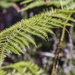 Fronde de fougère dans la forêt des Landes