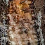 Gemme ou résine de pin coulant lentement dans la care de l'arbre