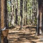 Parcelle de récolte de résine de pin en pot dans la forêt des Landes