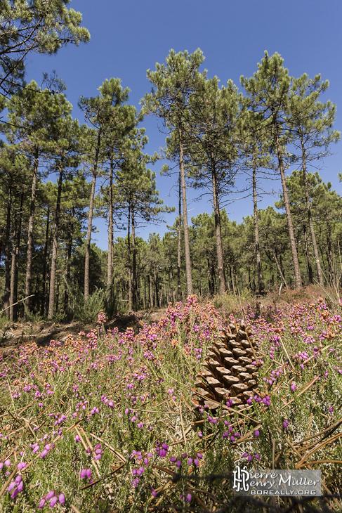 Pin De Mata Perros En X En 2019: Pomme De Pin Au Milieu De La Forêt Des Landes