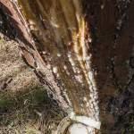 Résine de pin s'écoulant lentement de la care pour être récolté dans le pot