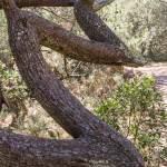 Tronc d'arbre tordu en forme de dents de scie